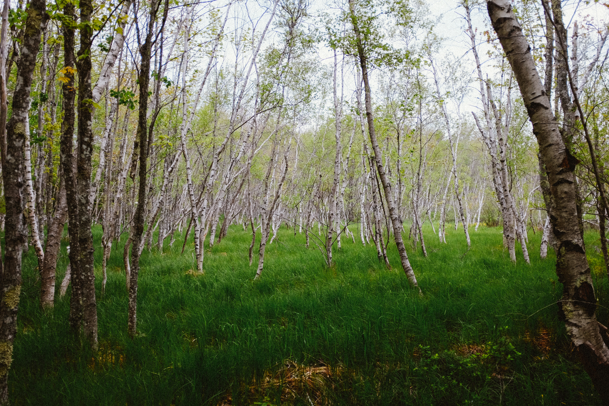 Our favorite...birch trees!